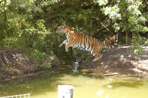 TigerPhoto_7180