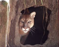 cougar hurricane shelter