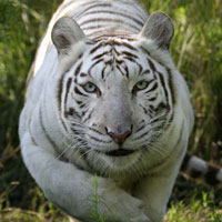 White Tiger photo by Beth Stewart