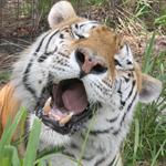 Tiger TJ