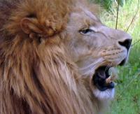 Lion Roaring Ringtone