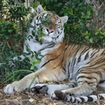Bella the tiger