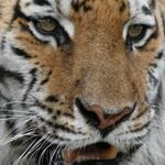 Tiger Modnic