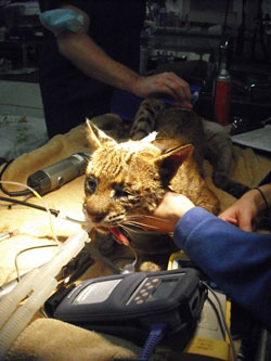 Bellona Bobcat Rehab Rescue
