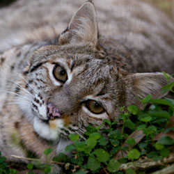 Bobcat Catera