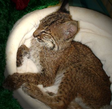 Kennedy the baby bobcat snuggles into a fleecy cat sack provided by a Big Cat Rescue donor.