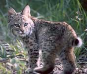 Bobcat babies are cute but they belong in the wild, in your hearts and not in your home