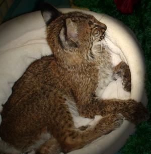Starving Baby Bobcat