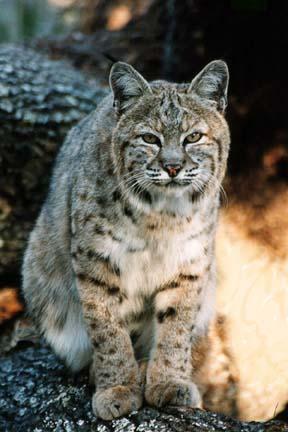 Bobcat Nakita