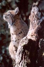 Nakita the Bobcat