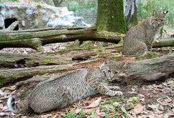 Relocating Bobcats and Cougars | Big Cat Rescue