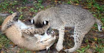 Bobcats roughhousing