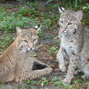 Bobcats Watching