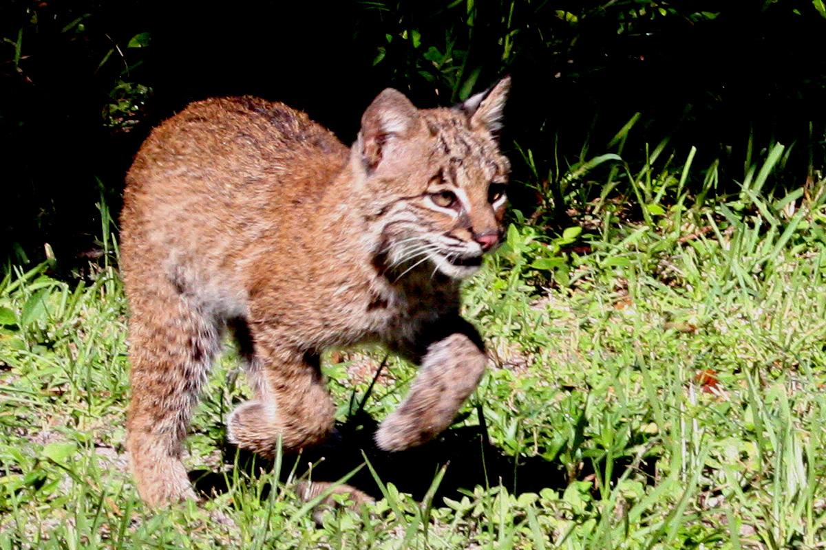bobcat - photo #46