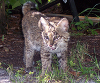 Will the bobcat kitten