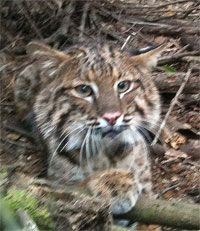 Dante the rehab bobcat
