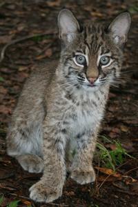 Rehab Bobcat