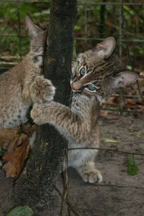 Storm the bobcat attacks life