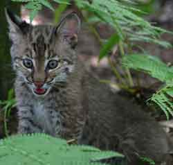 Baby Bobcat Hope