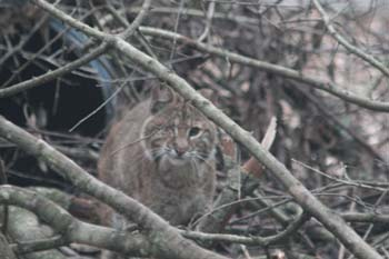 Chance the baby bobcat