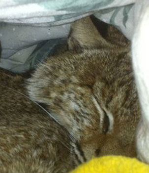bobcats are sweet...when they are asleep