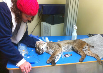 Jamie Veronica and Skip the bobcat