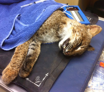 bobcat on heating pad