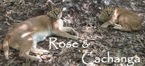 Rose and Cachanga Caracals