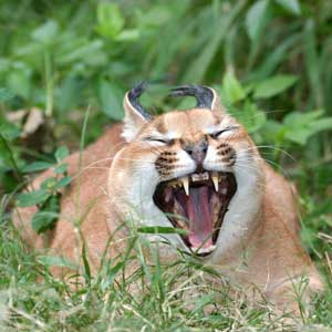 downloading pics of wild cat caracal wiki