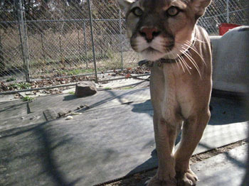 Freddy the cougar