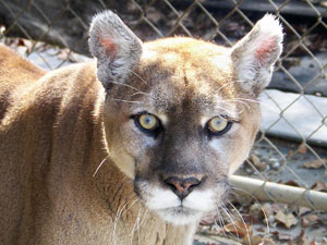 Sassy the Mountain Lion