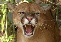 Cougar Aspen Echo