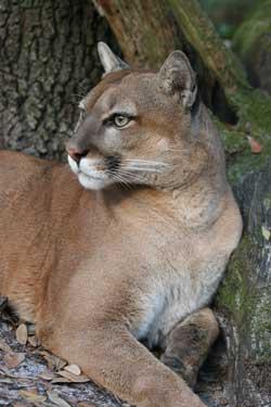 Cougar at Big Cat Rescue