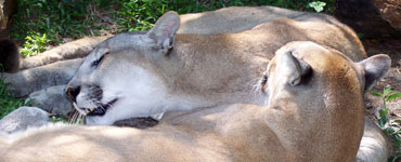 Cougars Bathing Each Other