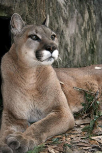 Sophia the Cougar