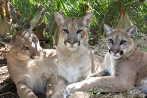 Cougar Cubs Who Had Been Orphaned by Hunter