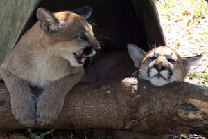 Cougar Cubs Orphaned By Hunter