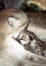 Cougar Mom with kitten