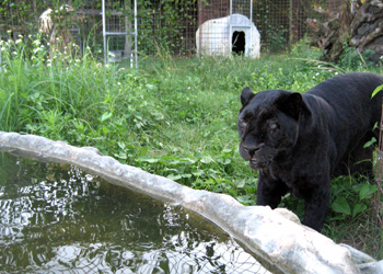 Adonis the Black Leopard