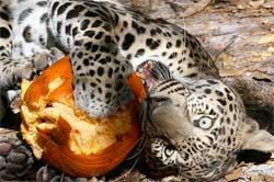 Leopard by Julie Hanan