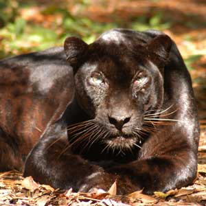 black leopards on the loose