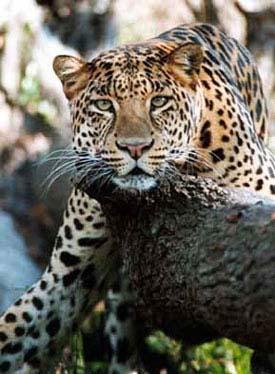 Simba the Leopard
