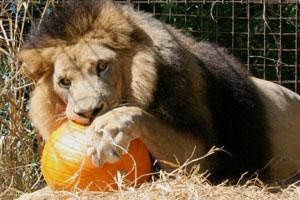 Lion Joseph with pumpkin