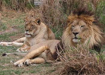 Lions at Big Cat Rescue