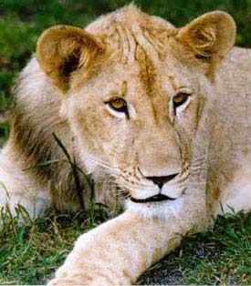 Born Free Lions