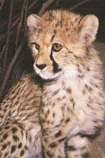Cheetah Facts | Big Cat Rescue