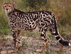 Cheetah Facts   Big Cat Rescue