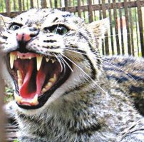Buy A Big Cat What Is The Real Cost Big Cat Rescue
