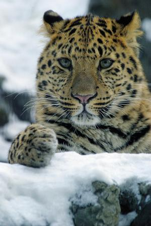 http://www.bigcatrescue.org/images/000BigCatPhotos/NotBCRcats/leopard/AmurLeopardSnow.jpg
