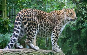Amur Leopard Wild